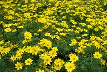 LOOKING GOOD 20/06/14 / WOODLARK NURSERIES PLANTS LOOKING GOOD 20/06/14