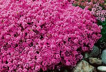 hardy ground cover