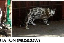 Moscow tabby / Cat