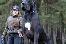 Büyük köpekler