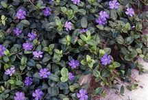 Evergreen Ground Cover