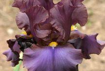 iris germanica n friends