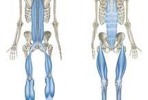 lanturi musculare