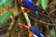 Aussie ~ Birds