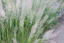 Grasses / Grasses for sale at Urban Jungle.