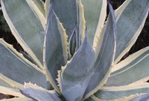 2016 PDN Blue Foliage Plants / Certain plants produce a thick coating of a waxy substance called cutin on their leaf surface that gives the foliage a blue or silvery appearance. Some of the more well-known and popular blue foliage plants include agave, dianthus, hosta and yucca. But, there are some lesser known plants with azure-ability such as carex, dasylirion, elymus, eryngium, othonna, and rudbeckia.