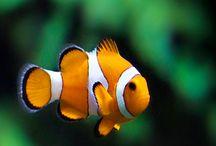 Anemon Balığı /  Anemone fish