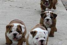 Bullies / English bulldog  / by Deborah McNeil