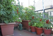 rosii in balcon