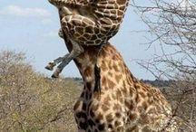 BILDER - Giraffer