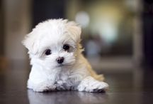 Witte puppy hondjes / I  love white puppy dogs