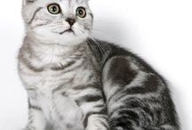 Шотландский кошки