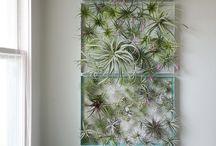 Lug plante