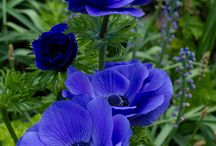 blauw/paars