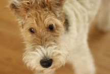 wire fox terrier / by Sarah Walters