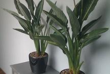 Things Strelitziaceae, the Bird of Paradise family