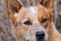 Australian Cattle Dogs, Red n Blue, Border Collies, Aussies, Kelpies & Herding Dogs. / by Janice DZierra