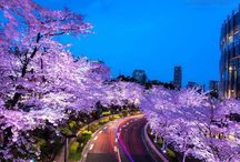 Сакура (Sakura)