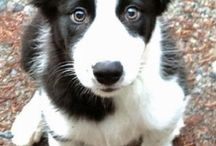 Chiots Collie