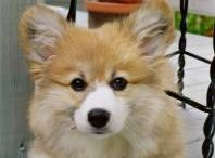 Obsession with corgis