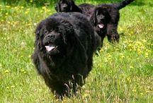 Dog breeds foundland