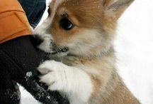 Tömzsi kutyu