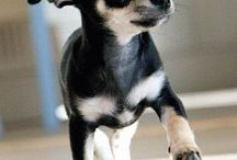 Chihuahua  / Pictures of the breed I love