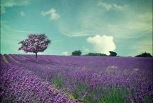 lavande / Provence