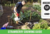 Strawberries / How to grow them, eat them and where to buy them in New Zealand.
