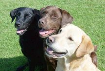 Dogs ~ Labrador Retriever / by Carmen Hansen Schwitzer