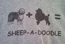 Riley / My Sheepadoodle ❤️
