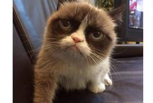 Grumpy cat / Cute but a angry cat