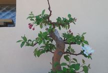 Bonsai Manzano