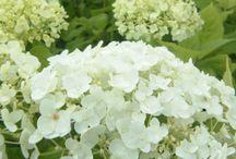 Flowers, multi florets / Flowers, multi florets