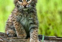 Bobcat- Çakal- Vaşak-Serval