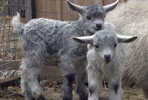 Pui de capră