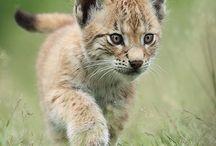 Predator cubs