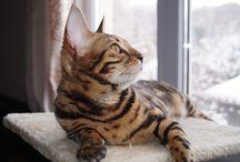 Female bengal kitten Cassiopeia - SOLD / Female bengal kitten Cassiopeia - SOLD born August 3, 2015 HCM parents - free, PkDef N/K, parents Fiv and Felv - negative Russia, Sochi welcome to my website www.magic-shine.ru