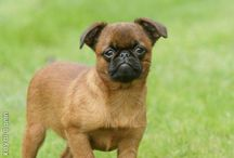 Brussels Griffon & Chihuahua pics / by Julie Bell