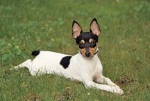 Rat & Fox Toy Terriers / by Cynthia Walters