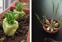 Regrow veggies easy gardening