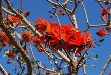 Erythrina lysistemon (Common Coral tree / Sacred Coral tree / Lucky-bean tree / Coast Coral tree) / A quintessential garden tree, wonderfully ornamental, with distinctive, showy, brilliantly red to deep scarlet flowers and thick, thorny branches.  Since early times the trees have been loved for their ethereal beauty, especially in winter, when the prominent flowers form a striking contrast to the pale, bare limbs, and their ease of cultivation. The coral tree genus has somewhat 120 species, distributed worldwide. In SA, about 6 have been known to reach tree size.
