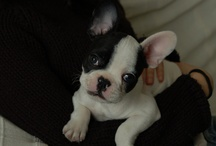 Frenchies <3 ..and other cuties! / My love/obsession for French Bulldogs, Boston Terriers and other smushy faced cuties....!