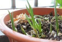 Regrowing Plants from supermarket / You'd be surprise how simple to grow food in your garden