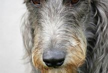 Scottish Deerhound.
