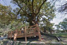 copaci monumentali