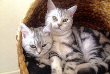 Lola & Elsa onze prachtige lieve Brits Black Silver Tabby Kortharen / Britskortharen; Lola en Elsa Black Silver Tabby's