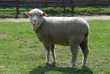 2 wypas owiec jozefow
