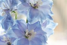 ❀ Sylleblossom ❀ / The most Beautiful Blue Flowers of all kind that resembles my beloved Sylleblossom. Delphinium, Hydrangea,