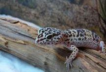 Leopardi gekot / omia ja toisia
